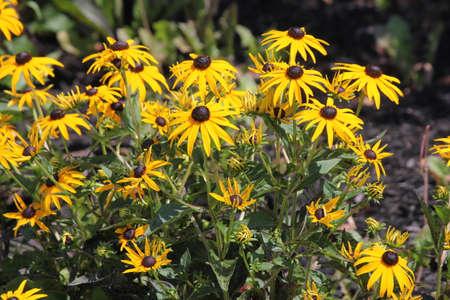 coneflowers: Yellow Coneflowers growing in a small public flower garden.