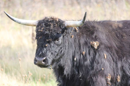 Black shaggy haired cow covered in burrs after walking through a weed filled field. Reklamní fotografie