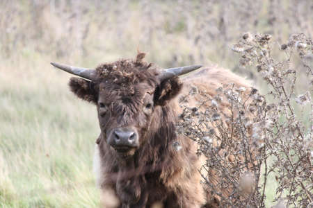 Brown shaggy haired cow covered in burrs after walking through a weed filled field.