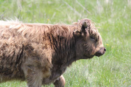 Long haired brown cow in a fenced field .