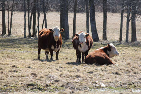Hereford cows in a small grassy field in early spring.