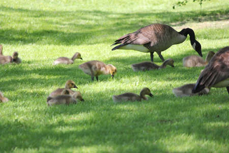 Canada geese with fuzzy little goslings (Canada Geese) about 1 month old playing in the grass and foraging for food,