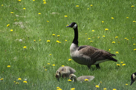 Canada geese with fuzzy little goslings (Canada Geese) about 2 months old playing in the grass and foraging for food,