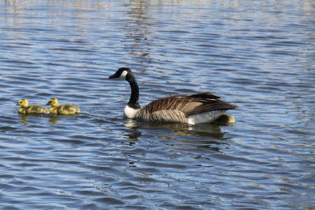 Canada geese (Branta canadensis) and Goslings  swimming in a marsh area in early spring. Stock Photo