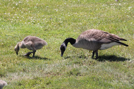 Canada geese with fuzzy little gosling (Canada Geese) about 2 months old , in the grass and foraging for food, Stock Photo