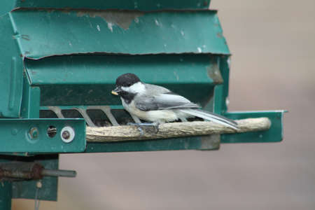 Black-capped Chickadee (Poecile atricapillus) on a back yard bird feeder. It is a small, nonmigratory, North American songbird.