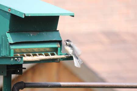 Mésange à tête noire (Poecile atricapillus) sur une mangeoire à oiseaux du jardin. C'est un petit oiseau chanteur nord-américain, non migrateur. Banque d'images - 90095011