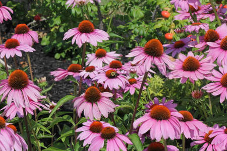Purple Coneflowers with Bee, growing in a small public flower garden. Фото со стока