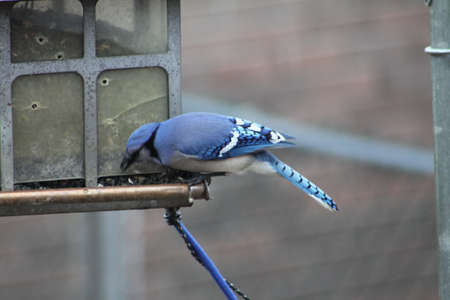 Blue Jay looking for seeds at a bird feeder.