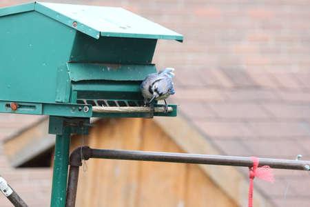 Blue Jay eating seeds off a bird feeder. Stock Photo