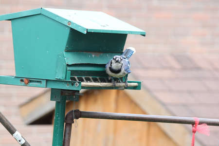 Blue Jay perched on a back-yard a bird feeder. Stock Photo