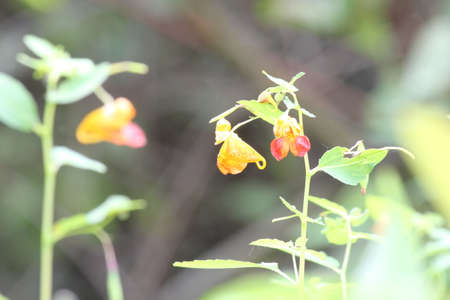 Spotted Orange Jewelweed (Impatiens capensis) is a beautiful, annual, tiny wildflower native to North America