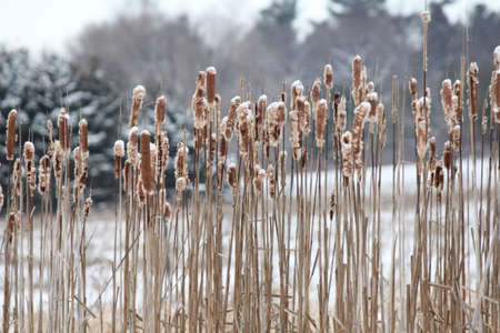 Cattail (Typha) are a tall, stiff plant. The flower has two parts; a brown cylinder (the female part), and a yellow spike (the male part). Still in its winter state in early Spring, cattail foliage dies off. Leaves and stems turn brown and dry up, seed heads burst open, ready for new season.