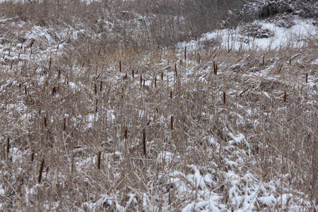 Leaves and stems turn brown and dry up, seed heads burst open, ready for new season.