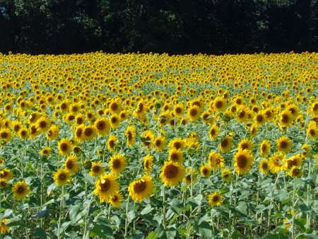 Large field of sunflowers in bloom in late summer.