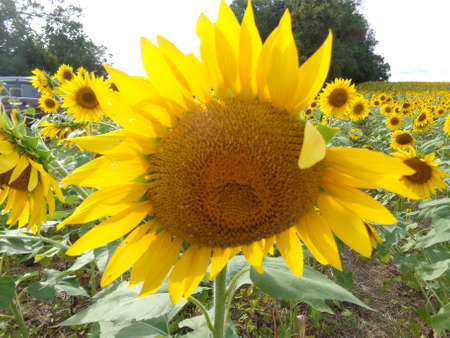 Beautiful sunflower head blooming in late summer. Stock Photo