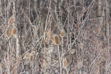 Teasel (Dipsacus fullonum) plants during winter, dieback displaying dead conical flower heads and dried out stems. Ontario, Can. Stock Photo