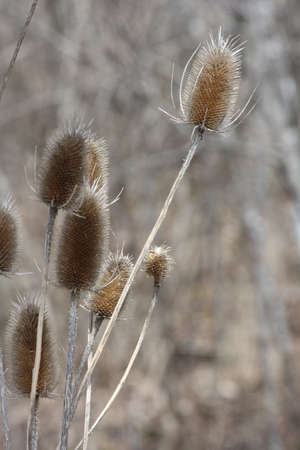 Common Teasel (Dipsacus), in its winter state along a roadside ditch in SE Ontario