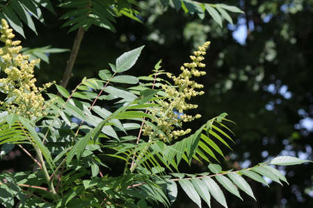 Male Staghorn sumac flower at early stage of blooming in early summer, is a deciduous shrub to small tree Stock Photo