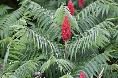 Staghorn Sumac bush and red bobs growing beside a country road. It is primarily found in the NE and Midwestern United States, Southern & E. Ontario. It grows to 3-10 m tall and is considered a weed in some countries.