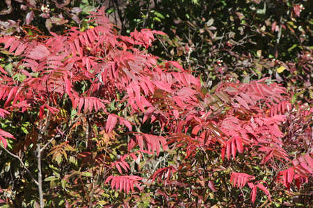 Staghorn Sumac, red fallautumn colored leaves, growing in Eastern Ontario.