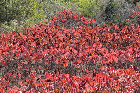 Staghorn Sumac, red fallautumn colored leaves, with red fruit filled cones (bob's) in Eastern Ontario. Stock Photo