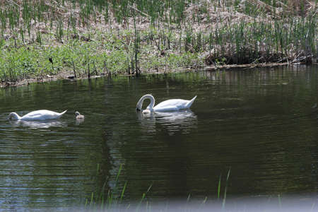 Mute swans (Cygnus olor) and Cygnets swimming in a small shallow creek full of water.