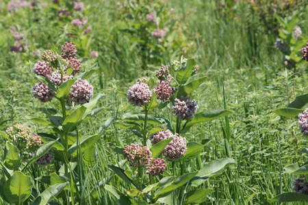 Flowering milkweed plant. Milkweed flowers bloom from June to August,Ontario