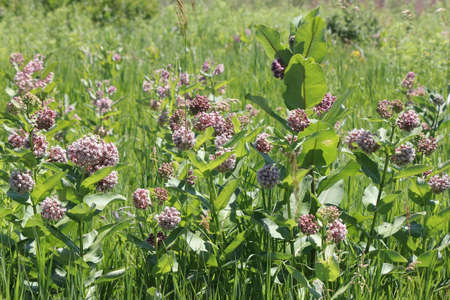 Flowering milkweed plant. Milkweed flowers bloom from June to August, Ontario