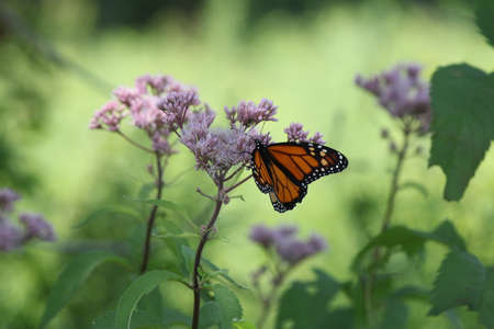 Monarch Butterfly on pretty pink flower in a small park area. Stock Photo