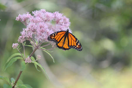 Monarch Butterfly on pretty pink flower in a small park area