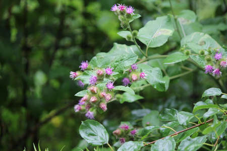 Common Burdock (Arctium) with purple flower on top, growing beside a country roadway.