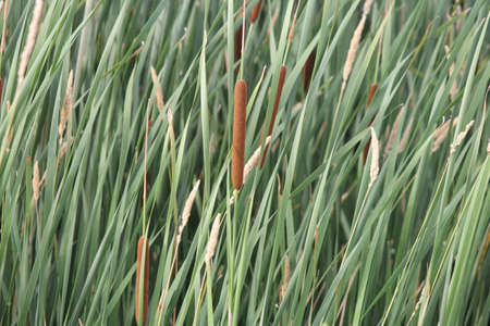 Cattail stalk (Typha latifolia) with both male (yellow) and female (brown) parts in a small area of marsh. Stock Photo - 105974092