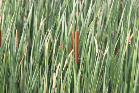 Cattails (Typha) in early summer filling up an area of a small marsh.
