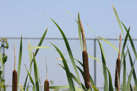 Cattail stalk (Typha latifolia) with both male (yellow) and female (brown) parts in a small ditch in front of a fenced area Reklamní fotografie
