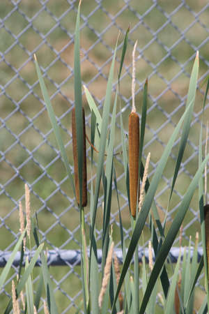 Cattail stalk (Typha latifolia) with both male (yellow) and female (brown) parts in a small ditch in front of a fenced area Stock Photo