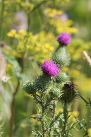 Bull thistle, (Cirsium vulgare),  prickly weed with pretty purple flower on top, growing in a waste area on the outskirts of Kingston, Ontario.