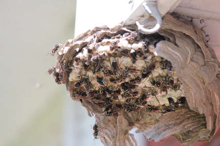Bald Faced Hornets clustered around eggs in a broken open nesthive.