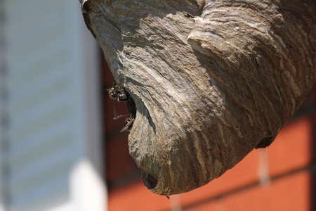 Bald Faced Hornets entering their nest through a small hole. Banco de Imagens
