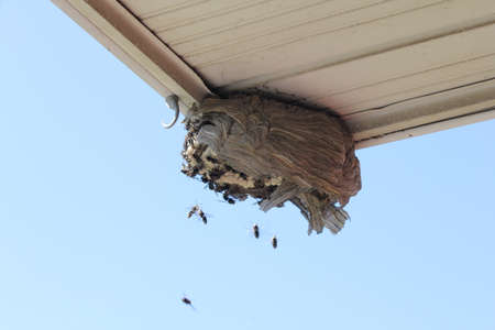Bald Faced Hornets flying towards a broken open nest on the eaves of a residential home.