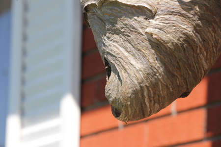 Bald Faced Hornets nest, intricate design, paper thin, built on the eaves of a residential home. Stock Photo