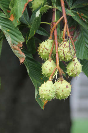 American chestnut (Castanea dentate) tree with spiny fruit growing in an urban area in South Eastern Ontario Canada.