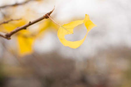 wind blowing: wind blowing out one yellow leaf with hole herat shaped from branch