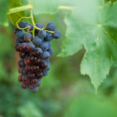 Brunch of riping grape close up on a bush Banque d'images