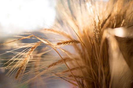 1 つのバンドルで収集した大麦の黄金の耳
