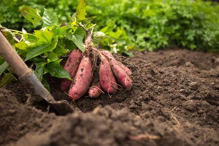Pęczek słodkich ziemniaków z łopatą i zielonymi liśćmi na czarnej ziemi Zdjęcie Seryjne