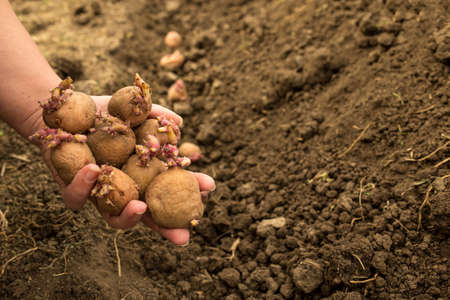 hand hiolding potatoes for planting with sprouts close up with black soil on background.
