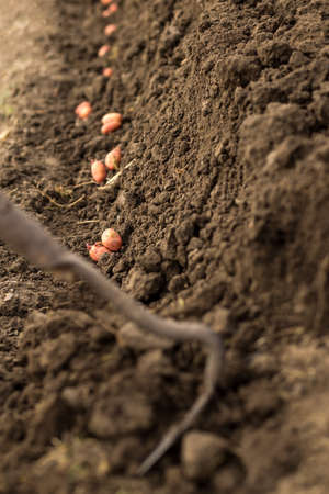 Planting potatoes in a row. Seed potatoes are grown in prepared soil