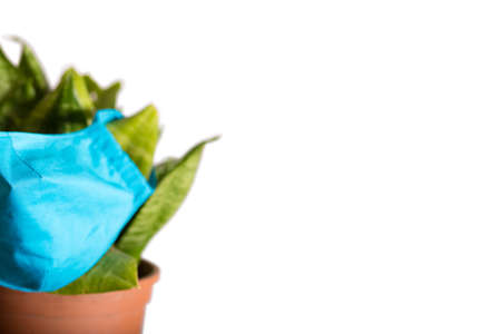 Indoor plant on a white background in a mask. The plant is protected from viruses and pathologies. Blue mask with copy space.
