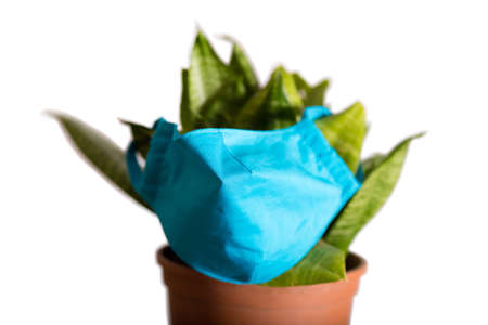 Indoor plant on a white background in a mask. The plant is protected from viruses and pathologies. Stock fotó